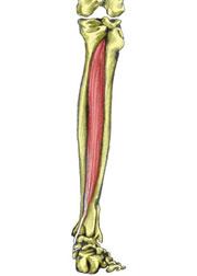 tibialis-posterior180